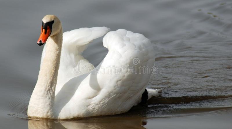 Swans are birds of the family Anatidae. Within the genus Cygnus. The swans close relatives include the geese and ducks. Swans are grouped with the closely stock photography