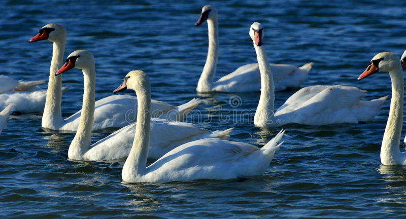 Swans on Black Sea stock image