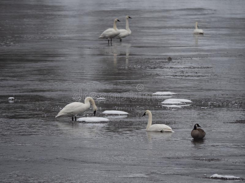 Swans and a Canadian Goose in Winter stock photos