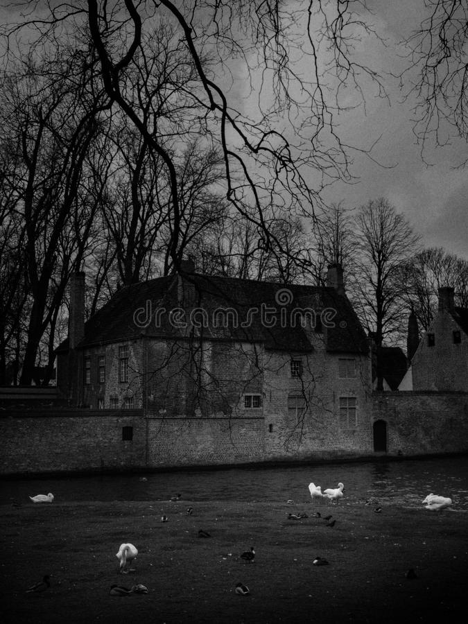 Swans in the city center of Brugge, Belgium stock photo