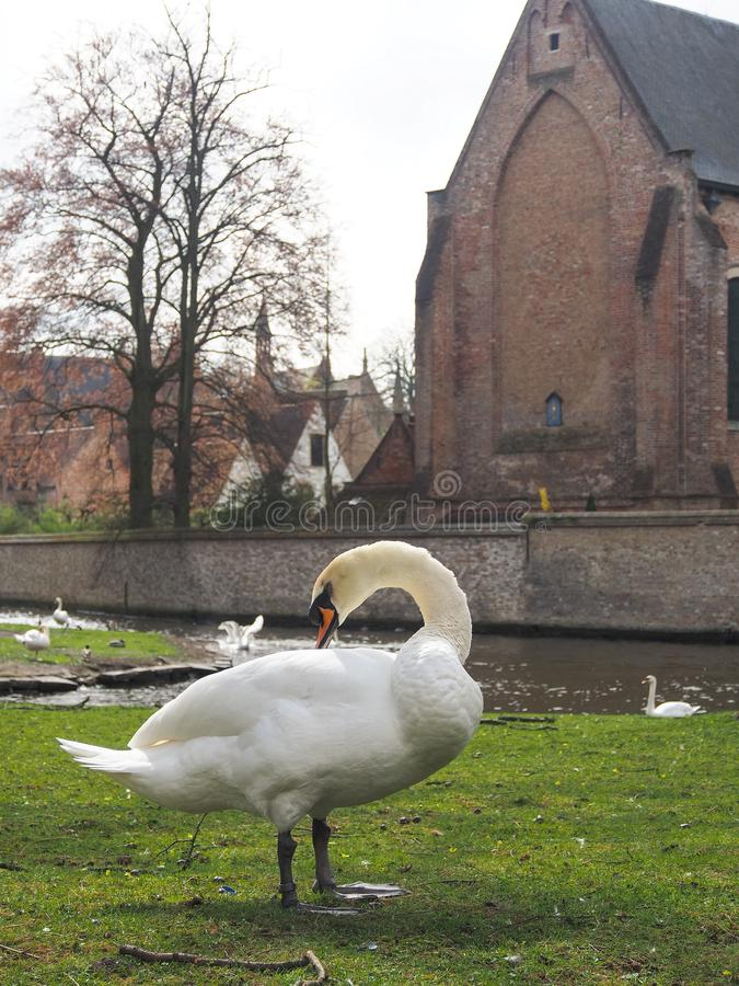 Swans in the city center of Brugge, Belgium royalty free stock photography