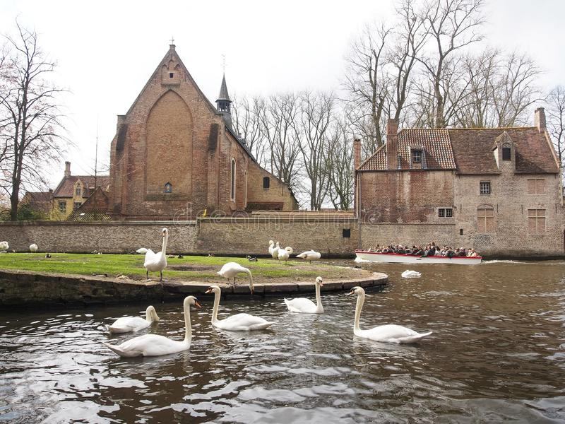 Swans in the city center of Brugge, Belgium royalty free stock images