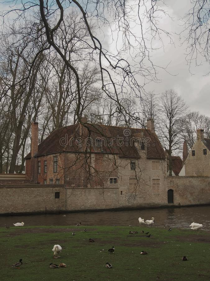 Swans in the city center of Brugge, Belgium stock photography