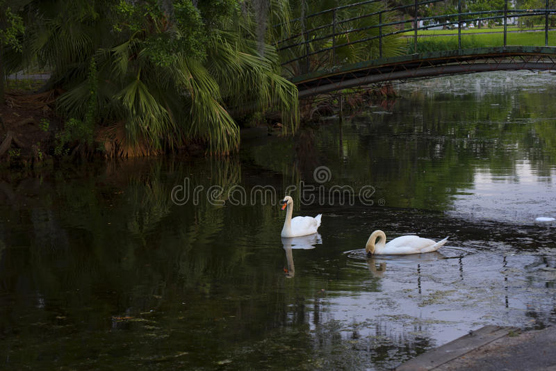 Swans in the city park of New Orleans Louisiana USA. New Orleans is a Louisiana city on the Mississippi River, near the Gulf of Mexico royalty free stock photos