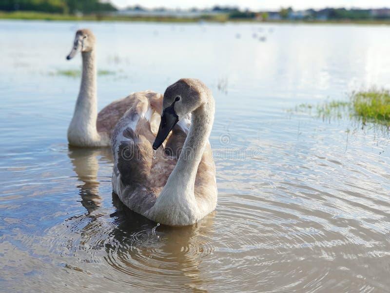 Swans closeup. Swords estuary in Ireland stock images