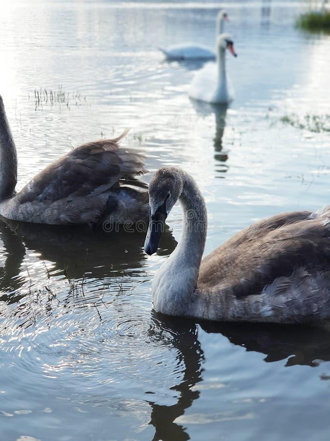 Swans closeup. Swords estuary in Ireland stock photography