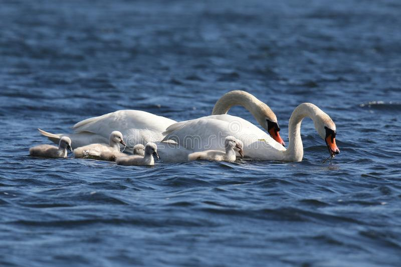 Swans with Cygnets on a Blue Lake. A family of young mute swan Cygnus olor cygnets swimming with the swan parents on a blue lake in Springtime stock images
