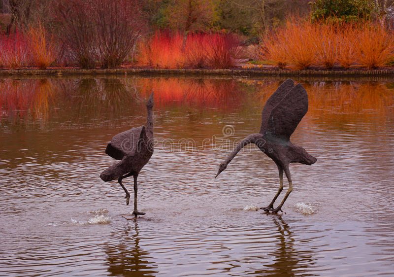 Swans dancing on the water. A picture of two beautiful bronze swans on the lake at Wisley Gardens in the UK stock photo