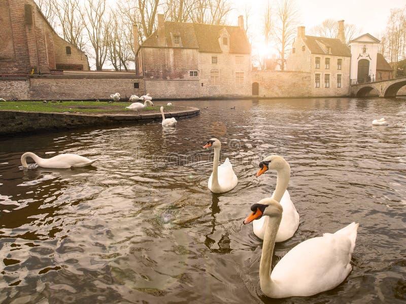 Swans dans le centre-ville de Bruges, Belgique photos libres de droits
