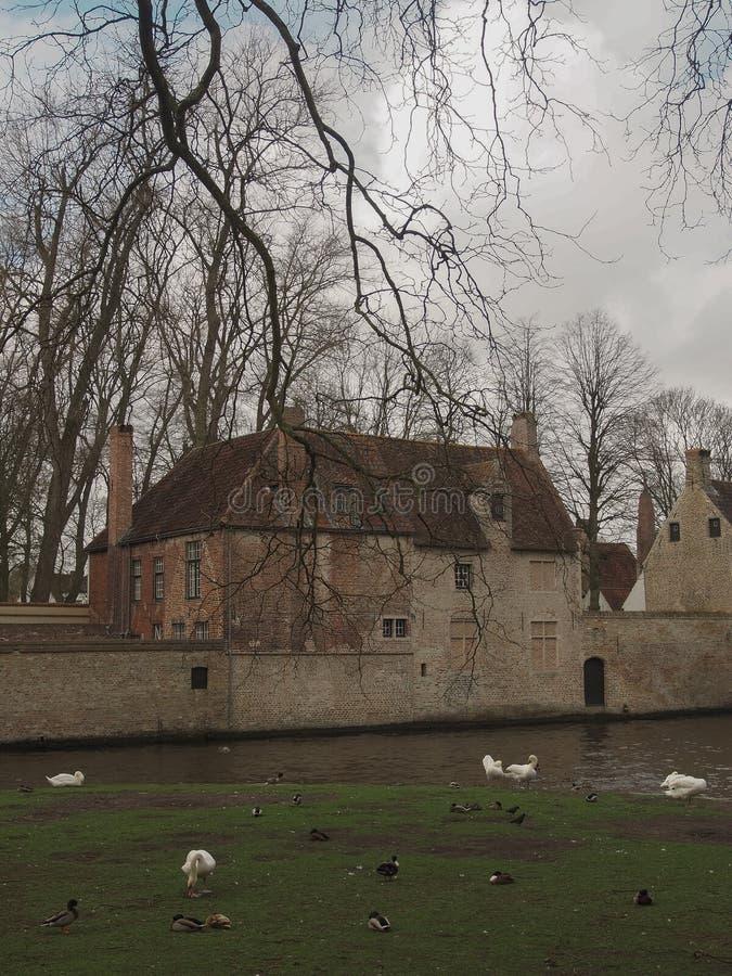 Swans dans le centre-ville de Bruges, Belgique photographie stock