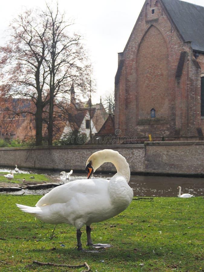 Swans dans le centre-ville de Bruges, Belgique photographie stock libre de droits