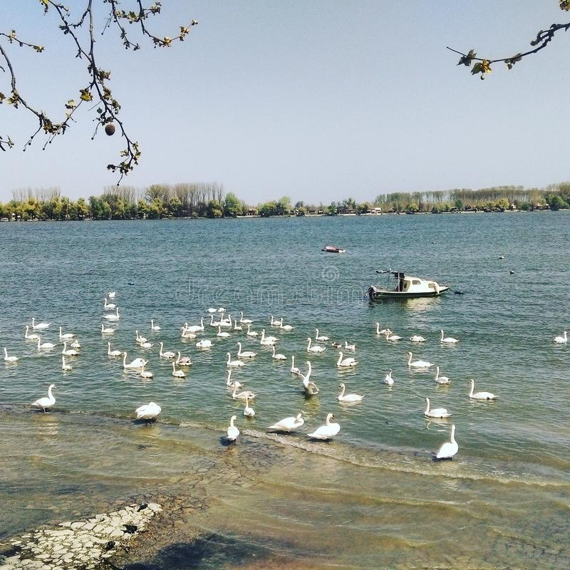 Swans on Danube river stock images