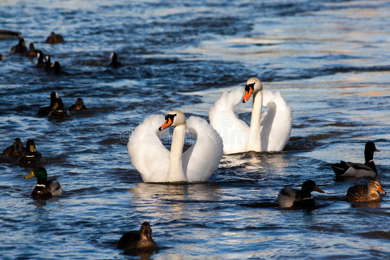 Swans with ducks. Two swans with group of ducks in Labe near Neratovice in Czech republic royalty free stock image