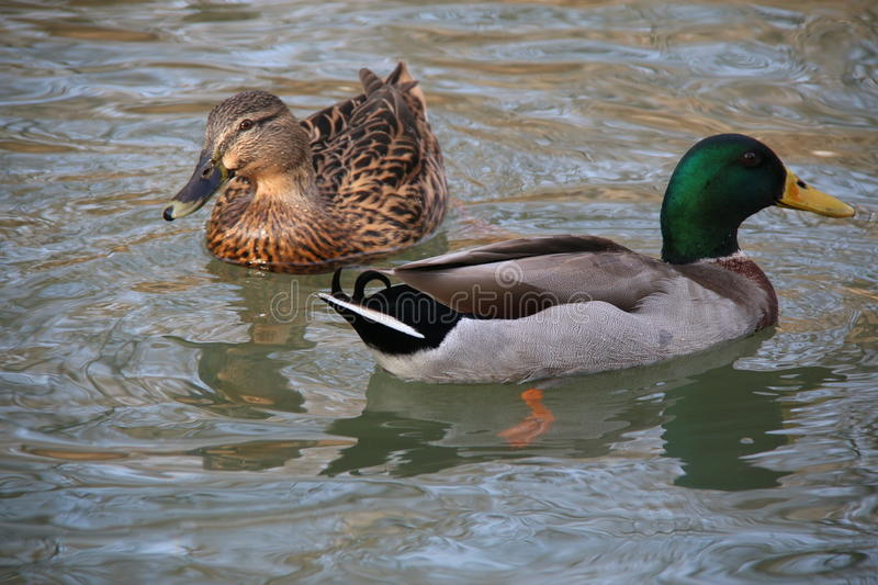 Swans and ducks of different variety in the lake royalty free stock photo