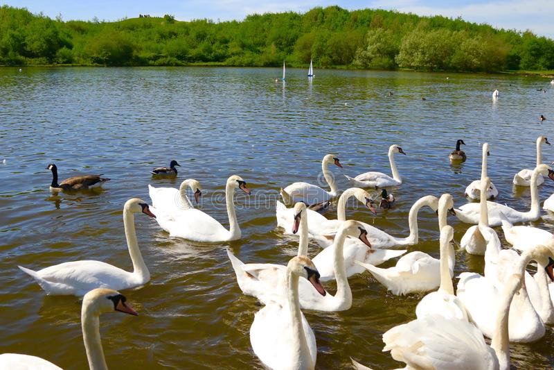Swans and ducks feeding time stock photos