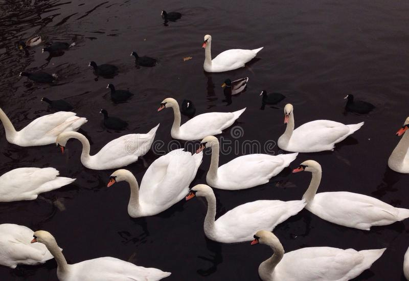 Swans and ducks float on water stock images