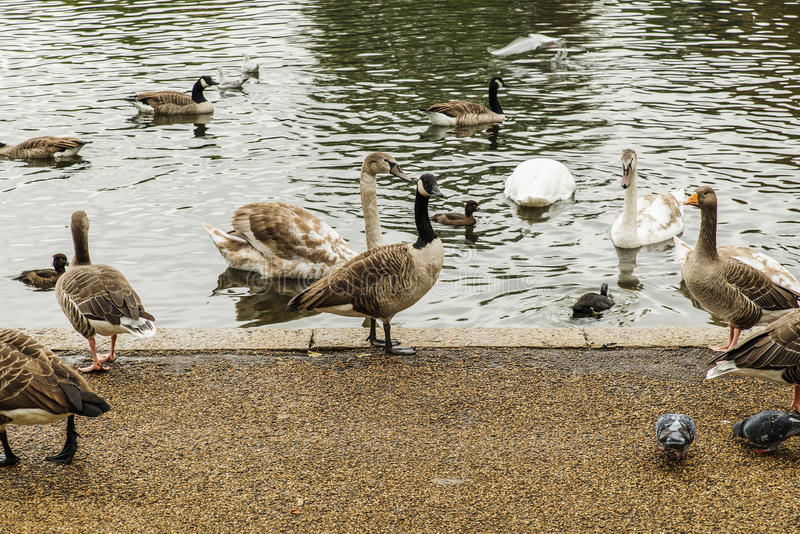 Swans, ducks and geese in Hyde Park. London stock image