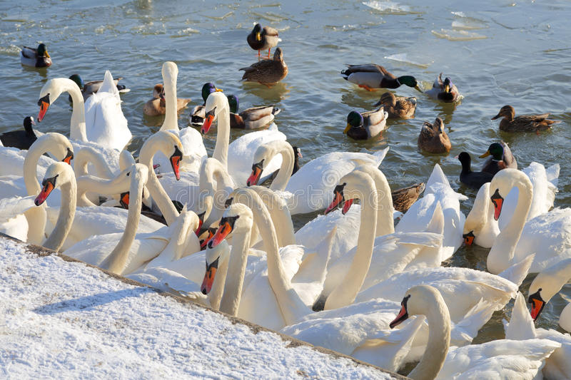 Swans and ducks are waiting for feeding. In a river royalty free stock images