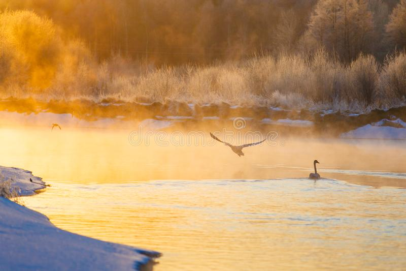 Swans and ducks on winter lake at bright sunrise royalty free stock photo