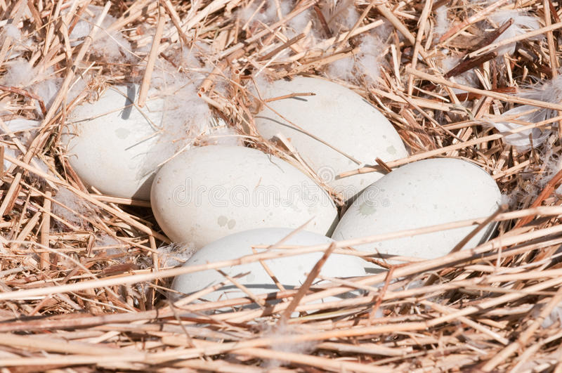 Swans eggs in the nest. Clutch of Swans eggs in the nest stock photo