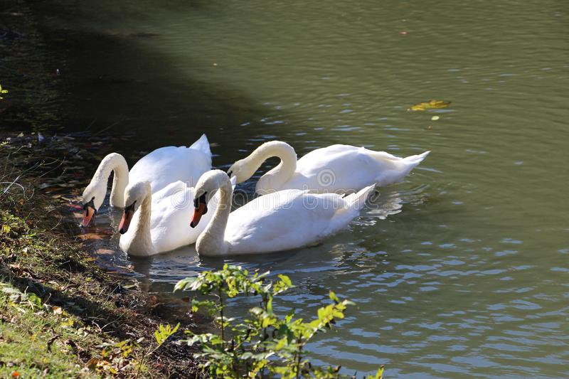 Swans are extremely elegant and noble looking birds. Swan is bird from the family of ducks Anatidae of the geese Anseriformes. Many species of swans reared to stock images