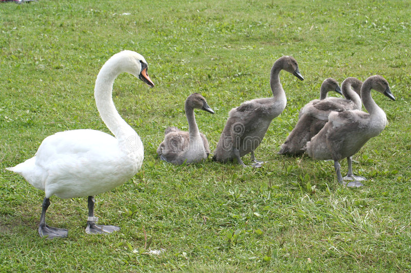 Download Swans family stock photo. Image of animal, pasture, nature - 701592