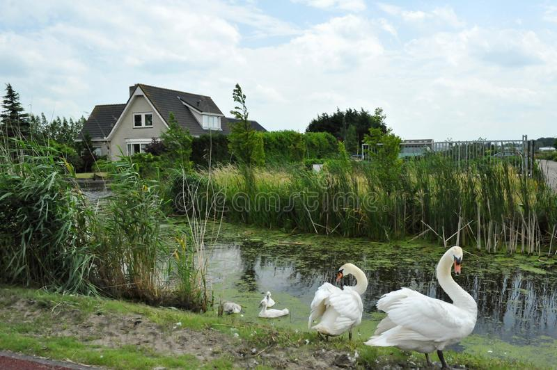 Swans family on channel in Holland. royalty free stock photo