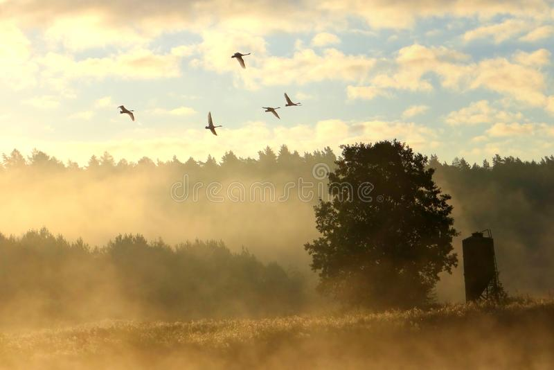 Swans family in the misty sky .Rural landscape , Lithuania stock images