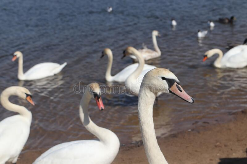 Swans. Swans The first spring birds arrived. The beach on the lake has revived royalty free stock photography