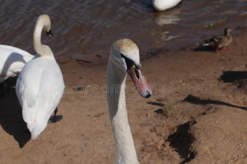 Swans. Swans The first spring birds arrived. The beach on the lake has revived stock image