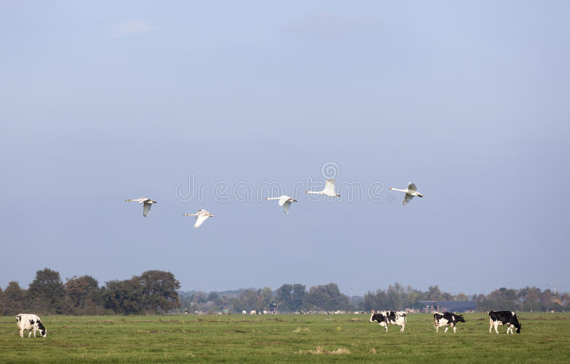 Swans fly over green meadow with black and white cows in holland royalty free stock photography