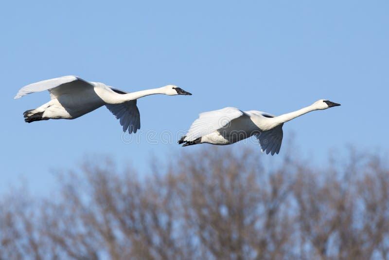 Swans flying agist blue sky stock photos