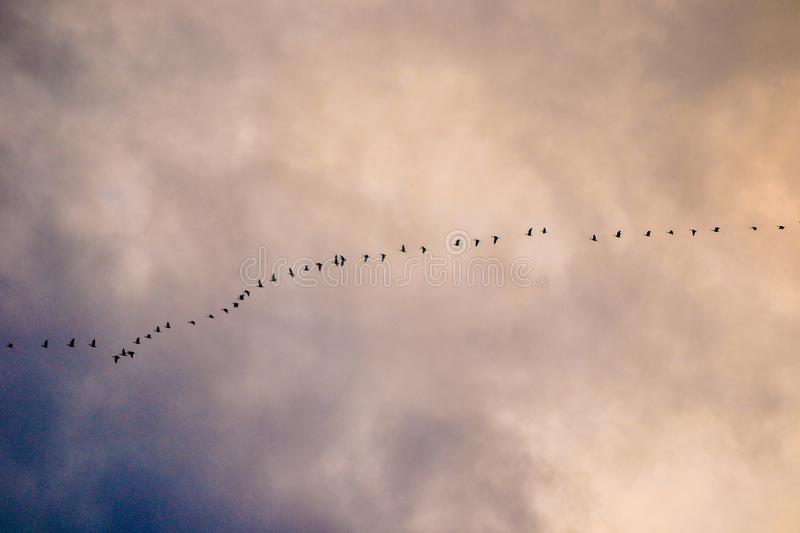 Swans flying south on a stormy fall day. In Bellingham Washington royalty free stock photography
