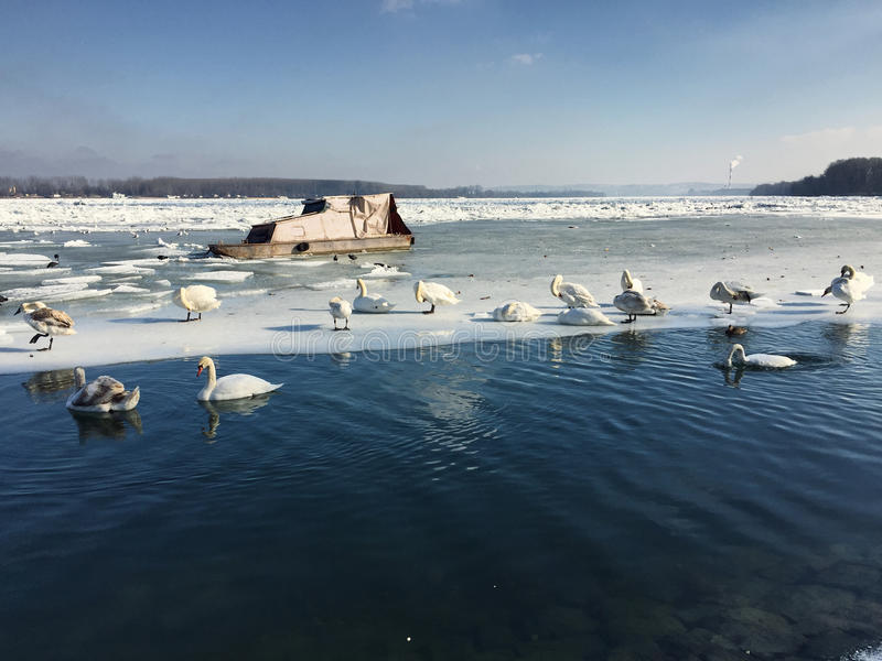 Swans on a frozen Danube river in Zemun royalty free stock photo