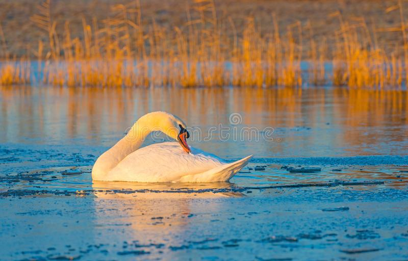Swans in a frozen lake at sunrise. In winter royalty free stock photos