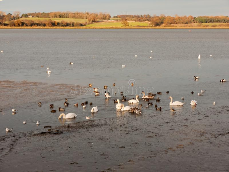 Swans, geese, birds, ducks seaside animals tide out coast landscape sand mud mudflat. Essex; england; uk royalty free stock photo