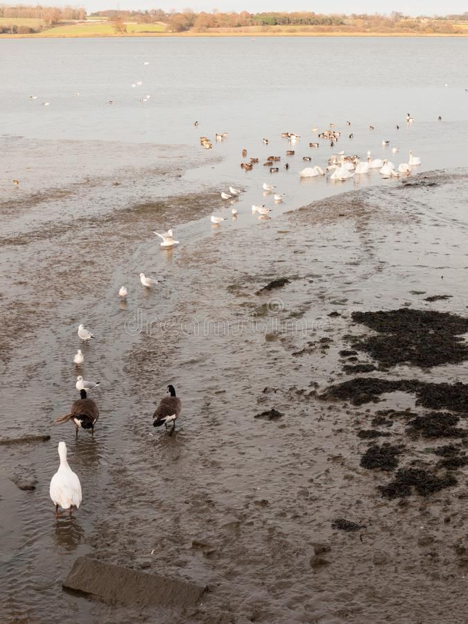 Swans, geese, birds, ducks seaside animals tide out coast landscape sand mud mudflat. Essex; england; uk stock image