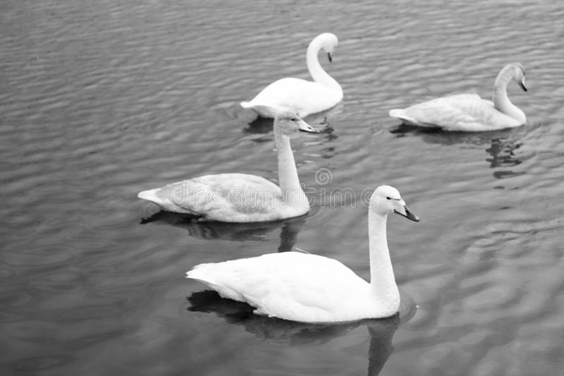Swans gorgeous on grey water surface. Animals natural environment. Waterfowl with offspring floating on pond. Swans. Natural environment concept. Swan gorgeous stock photography