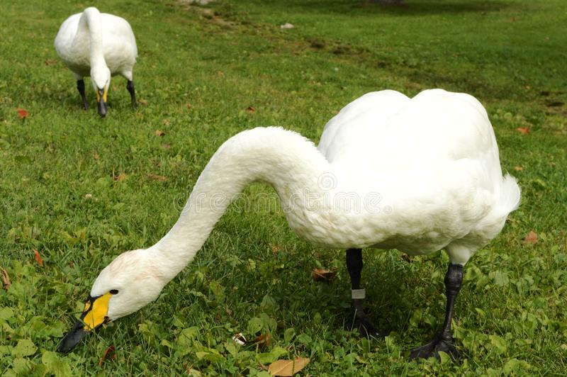 Swans Grazing Grassland stock photos