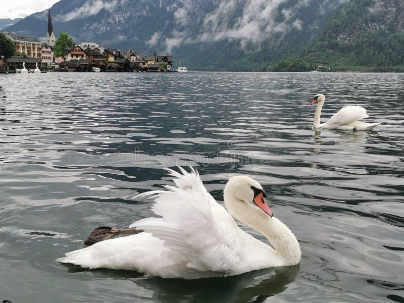 Swans in the Hallstatt city, Austria royalty free stock image