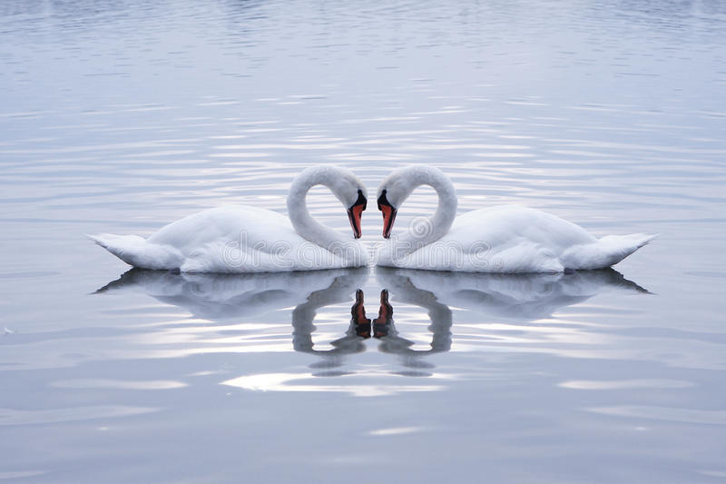 Swans Heart stock image
