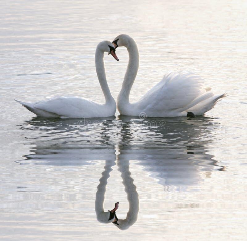 Swans heart royalty free stock photo