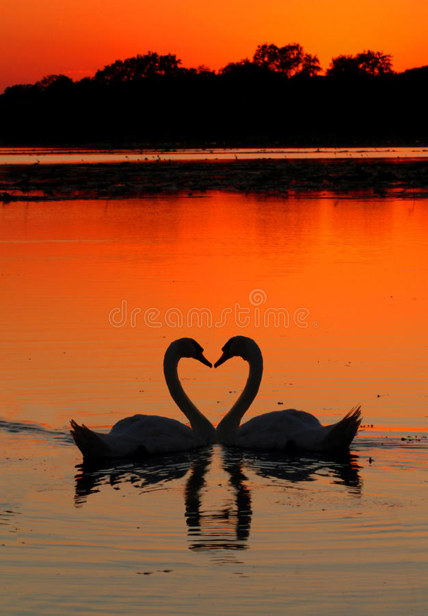 Swans heart sunset. Two swans in the shape of a heart at sunset royalty free stock image