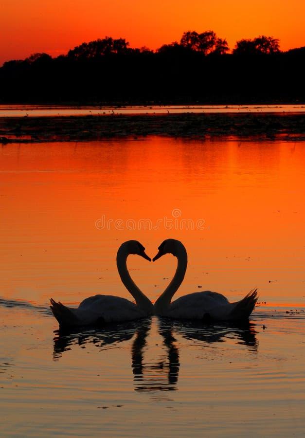 Free Swans Heart Sunset Royalty Free Stock Image - 21251116