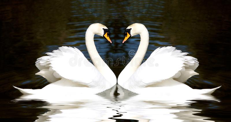 Swans heart royalty free stock images