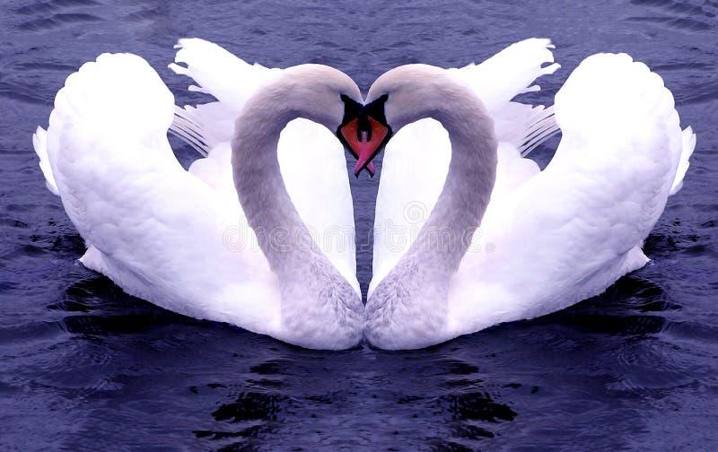 Swans Hearts stock photos