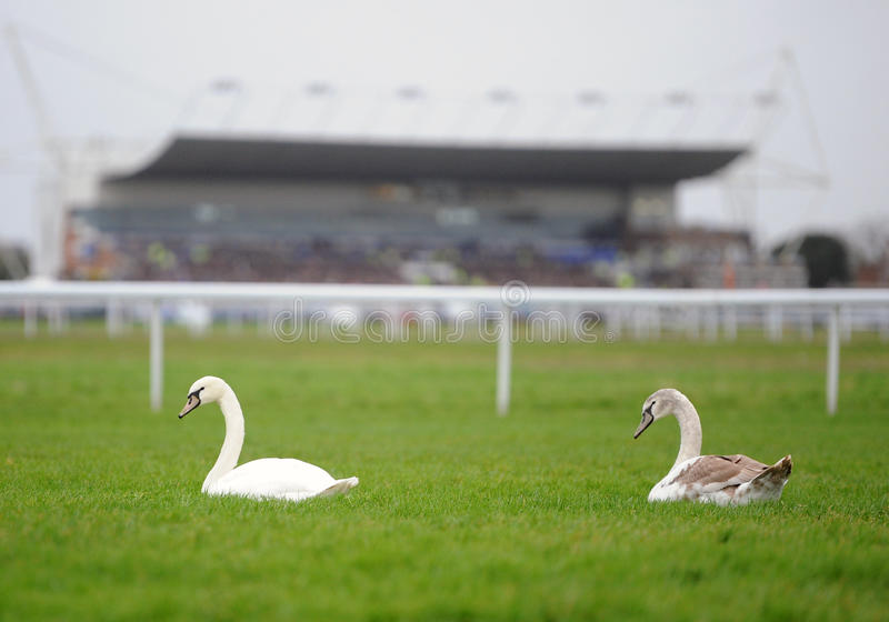 Download Swans on horse racecourse stock image. Image of pair - 28781299
