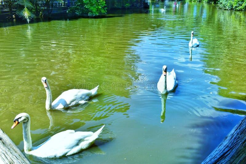 Swans i sjön arkivbild