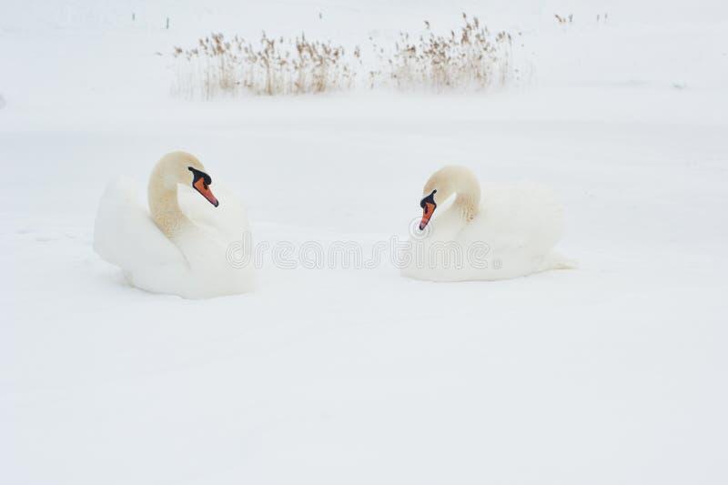 Swans i vinter Härlig fågelbild i vinternatur med snö royaltyfri bild