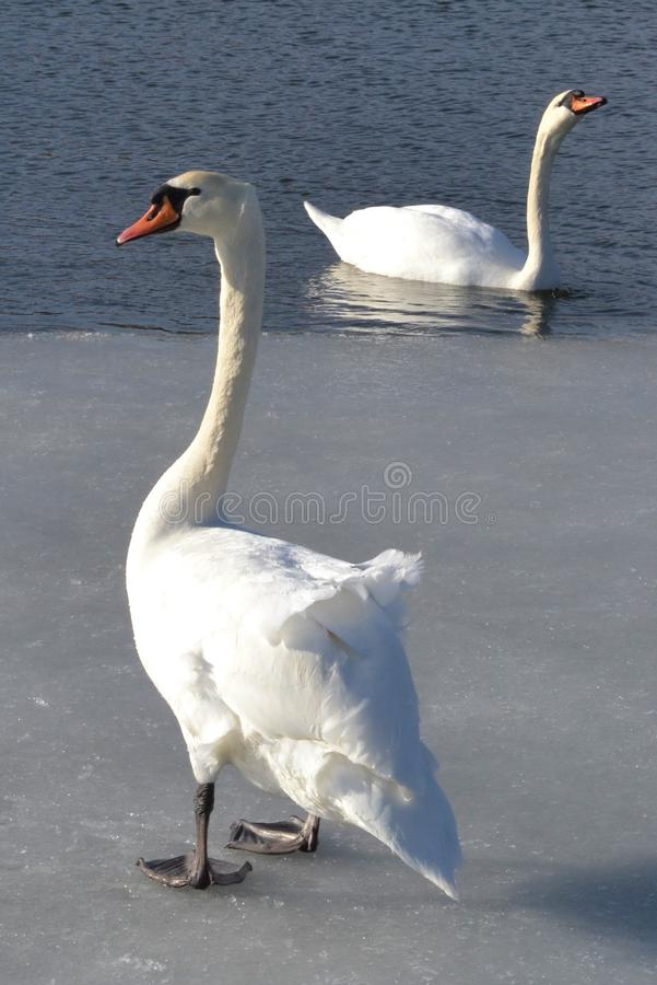 Swans on the ice stock photos